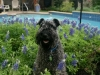 Maggie_in_the_Bluebonnets_4_normal