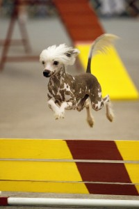 chinese-crested