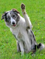 border collie waving [320x200]