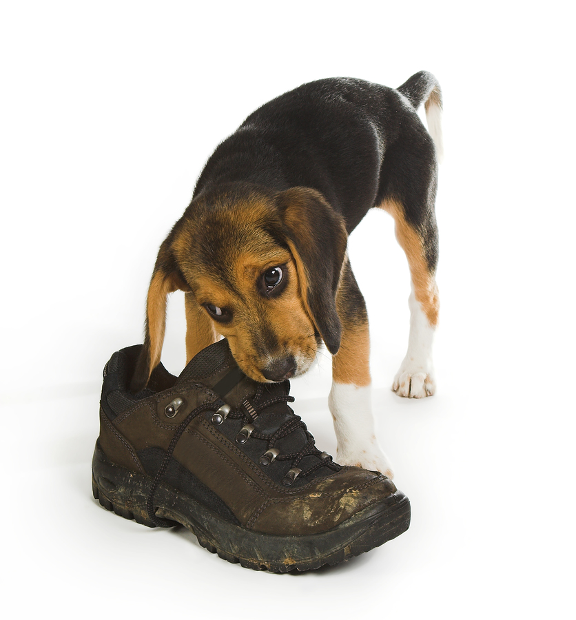 How Can I Stop My Dog From Chewing Shoes