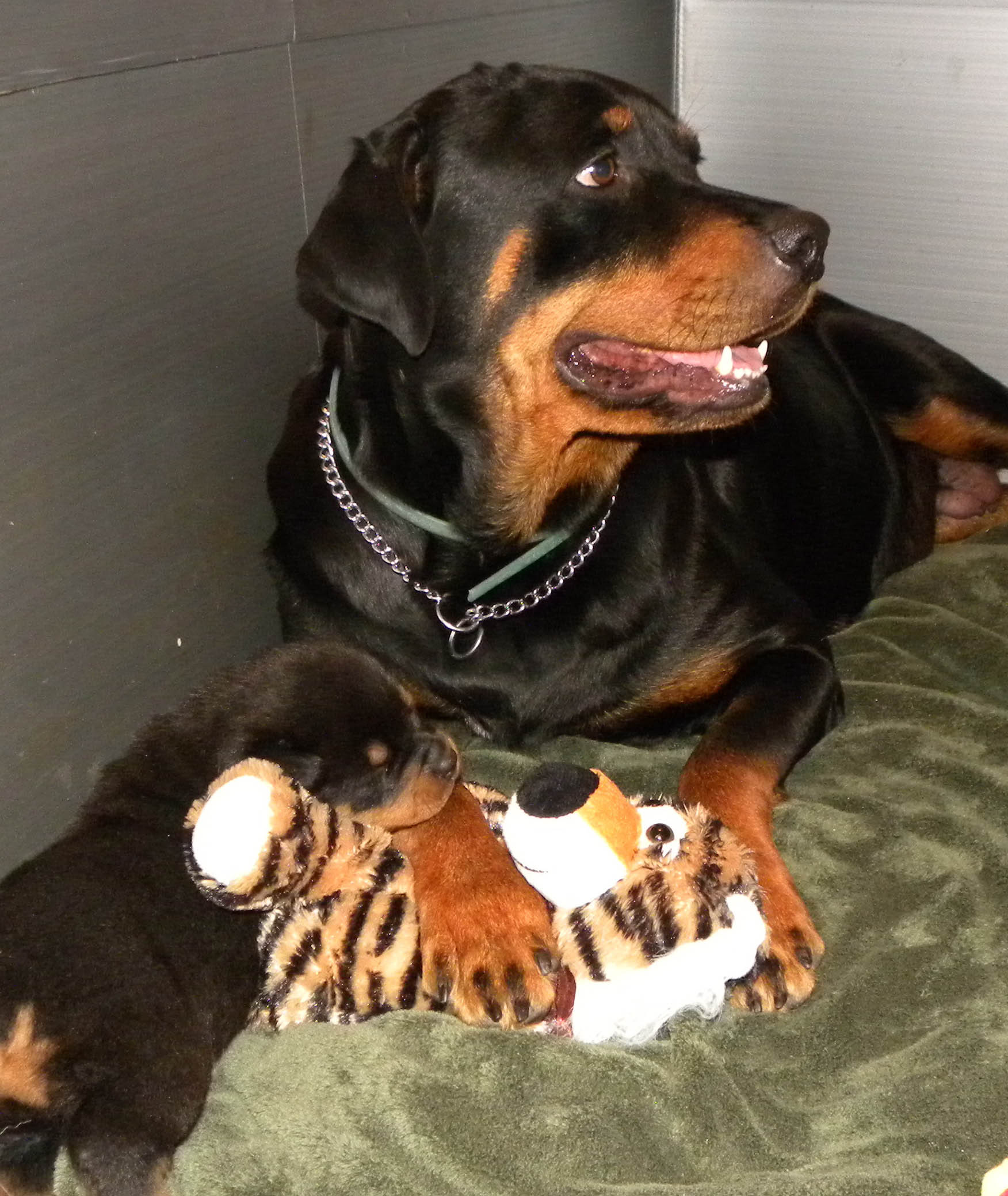 Puppy Mill Rescue By Houston Spca Yields 230 Rottweilers Exotics