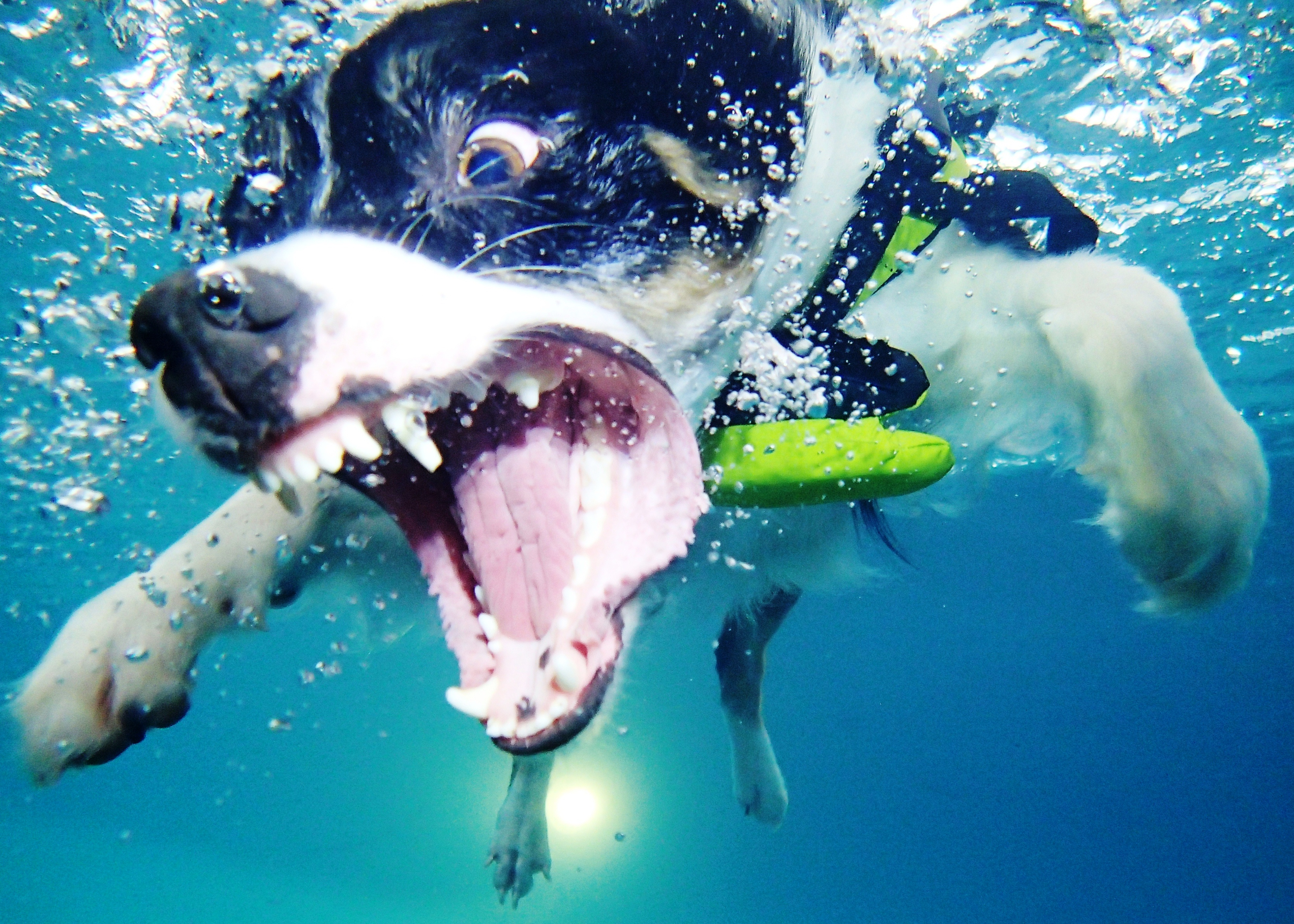 Having A Ball Swimming At Rummys Beach Club! Houston PetTalk