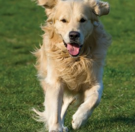 Dog Running