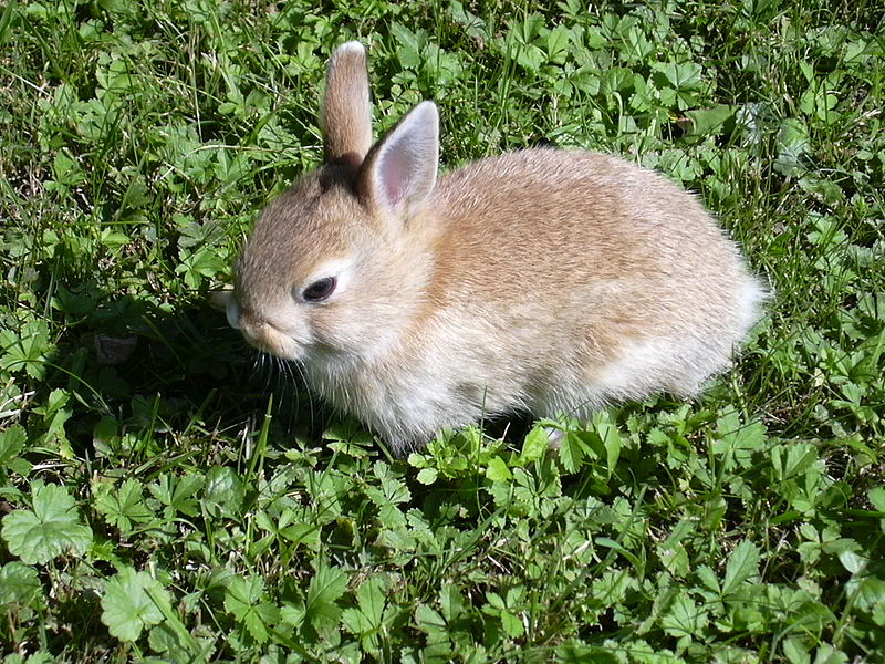 800px-Rabbit_small