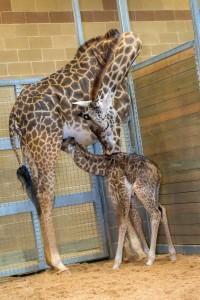 140204 - Baby Giraffe