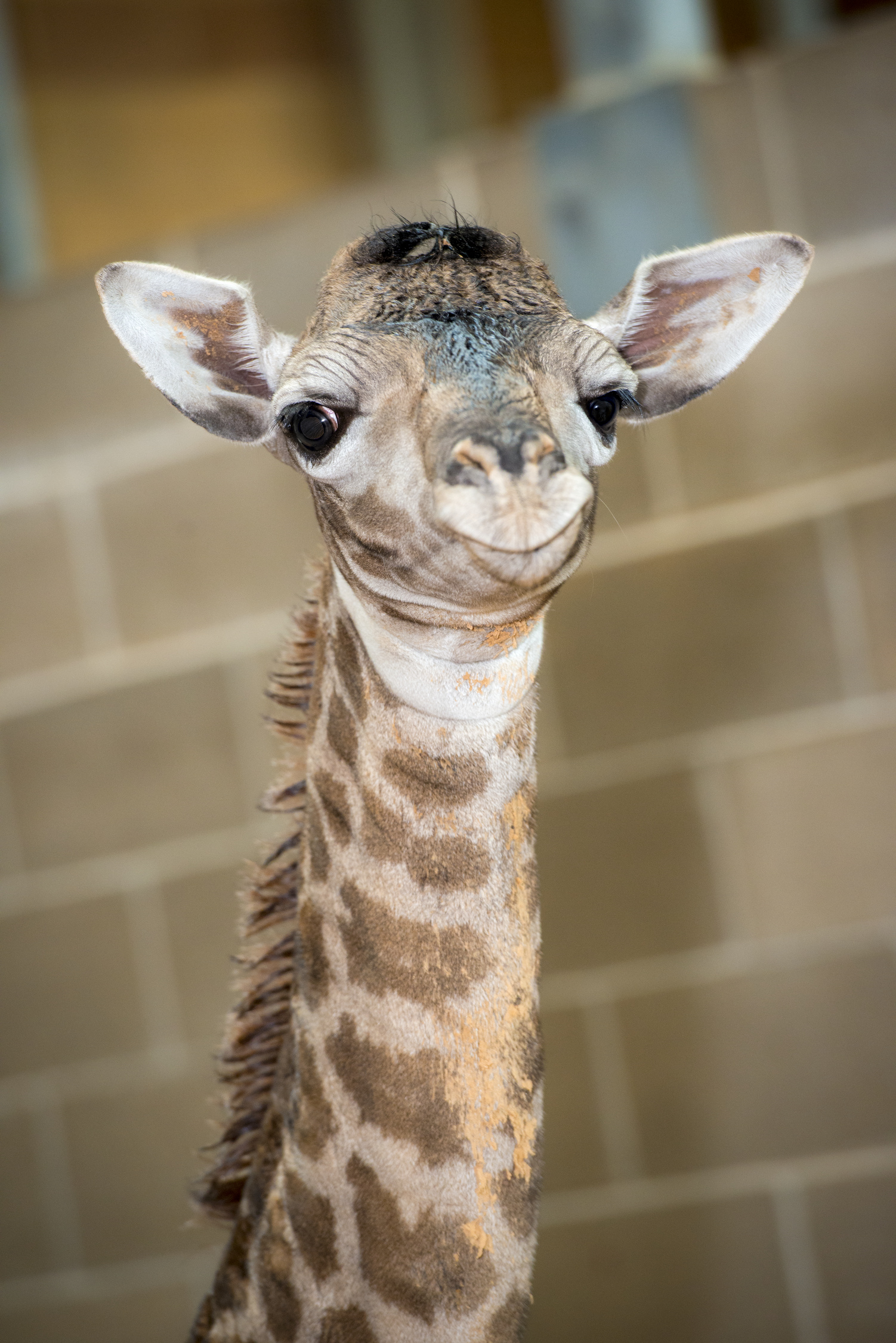 Baby_Giraffe_020414-0006-6620