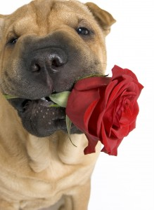 Shar-Pei Puppy with a Single Rose in his Mouth