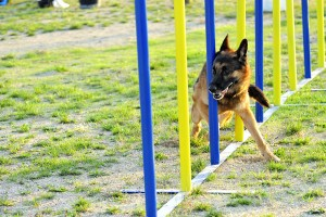 German Shepherd in Agility competition