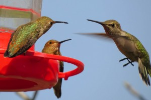 HUMMINGBIRD PHOTO 2015