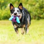 fun australian cattle dog pupp running in summer nature