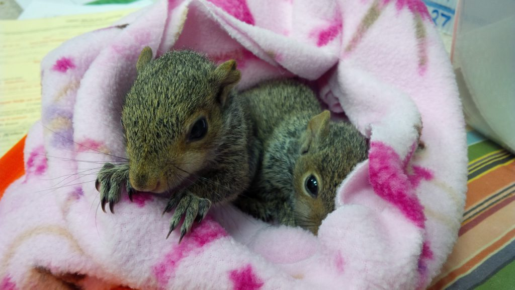 BABY GRAY SQUIRRELS IN BLANKET