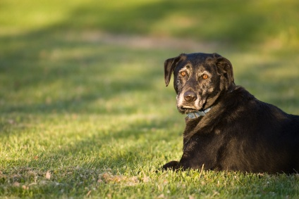 Canine Cancer: High Risk Breeds