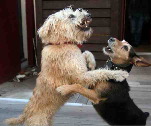 Your Dog Training Questions: My Dogs Fight