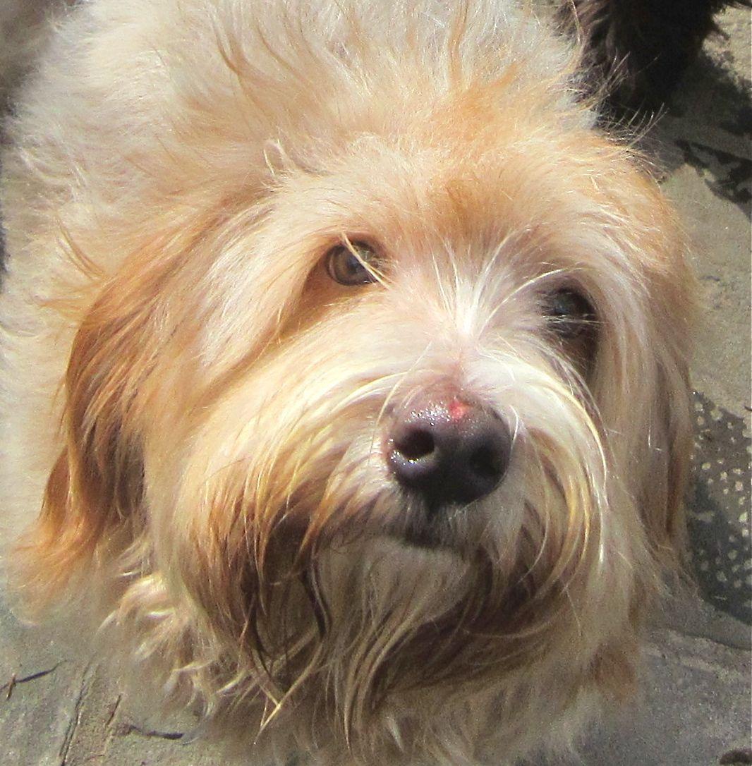 Shaggy Dog Rescue of Houston: Meet Harvey