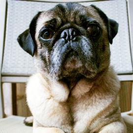 Animal Tales Katy: Weekly Treat Special Benefits Pug Rescue