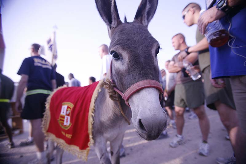 """""""Smoke"""" The Donkey Headed For US From Iraq"""