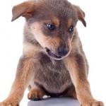 aggressive puppy