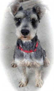 "Miniature Schnauzer ""Buckley"" Needs A Home"