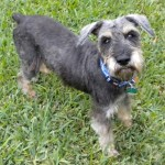 Miniature Schnauzers Need You!