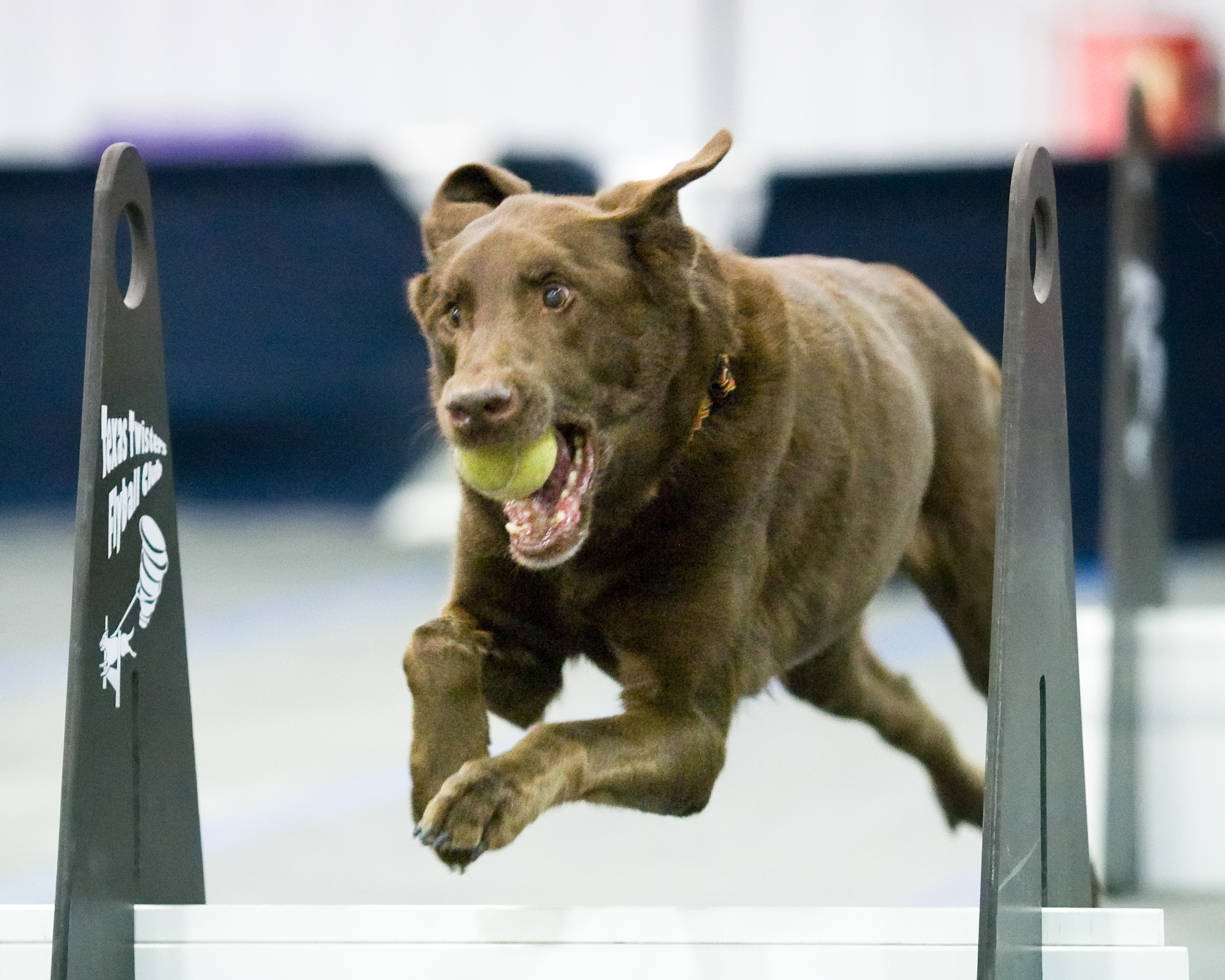 Flyball Comes To Club Canine In Houston