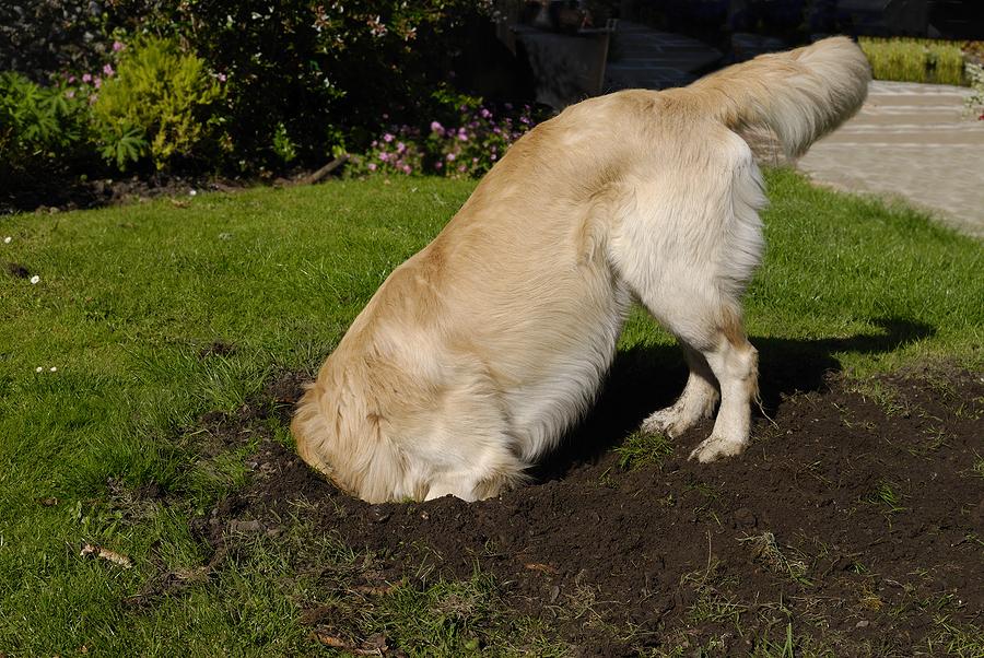 Dog Behavior: Help! My Dog Digs