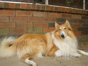Houston Collie Rescue Has A Collie For You!
