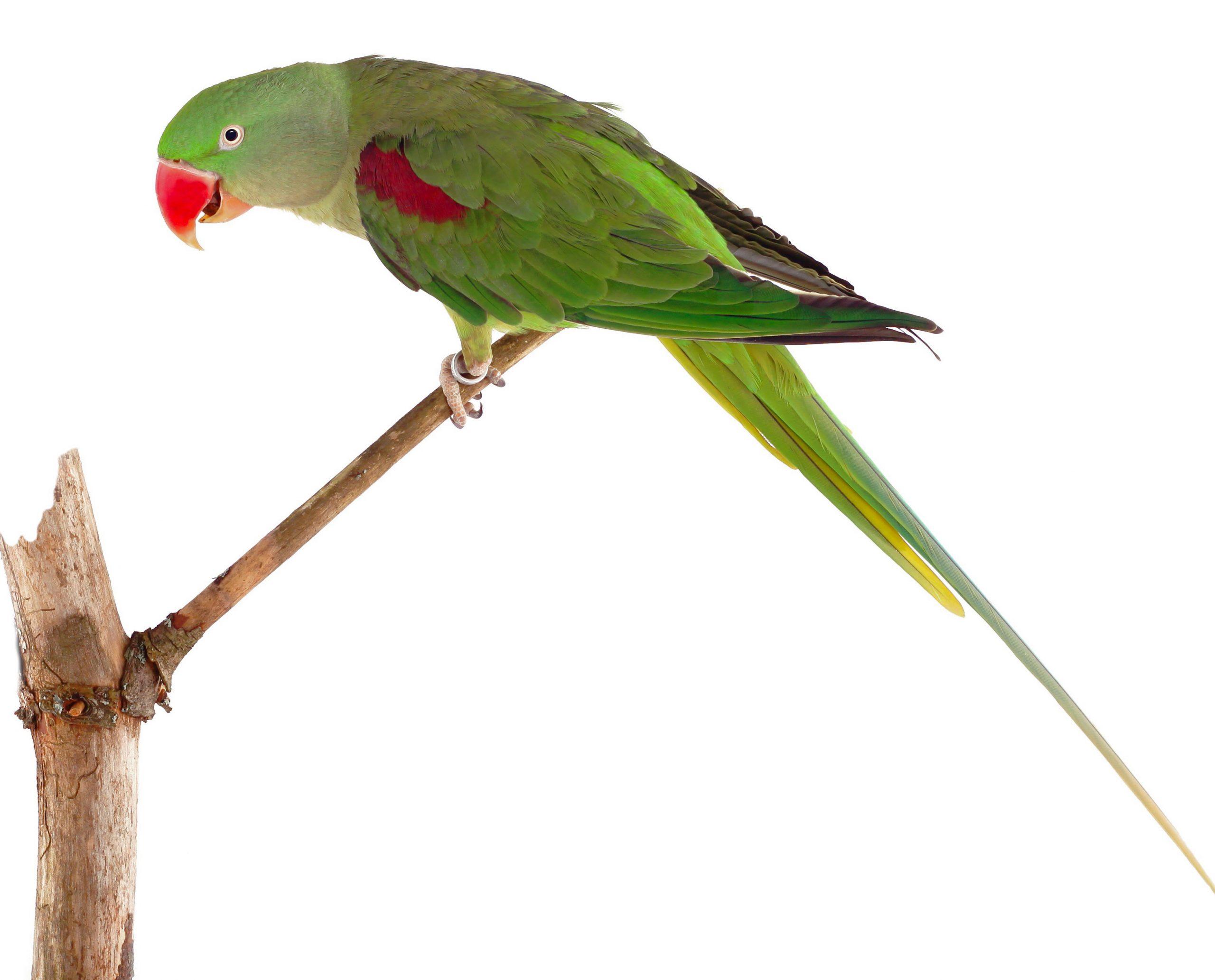 Lost Parrot Near Holcomb & Buffalo Spdwy