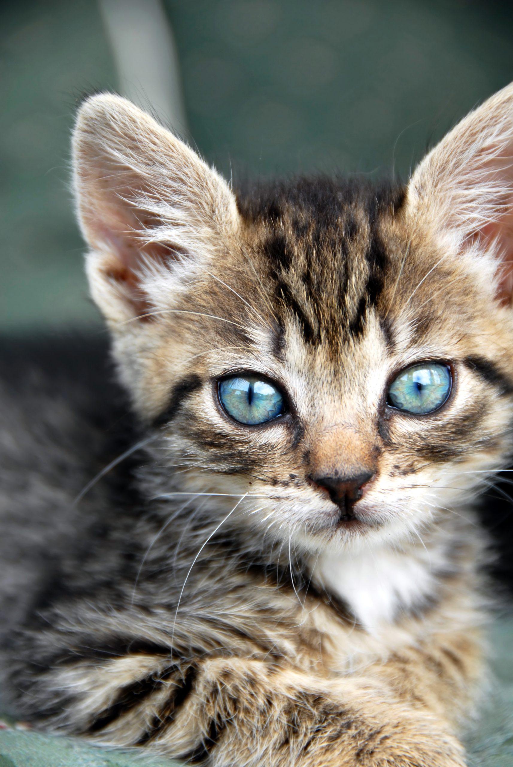 Houston SPCA Feline Special Til June 24