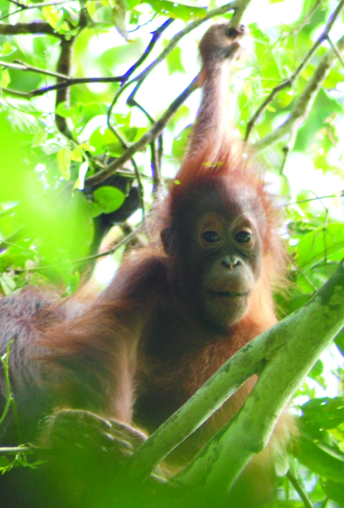 Wildlife Conservation Series: Orangutan