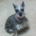 Miniature Schnauzer Rescue: Schotzie Needs A Home