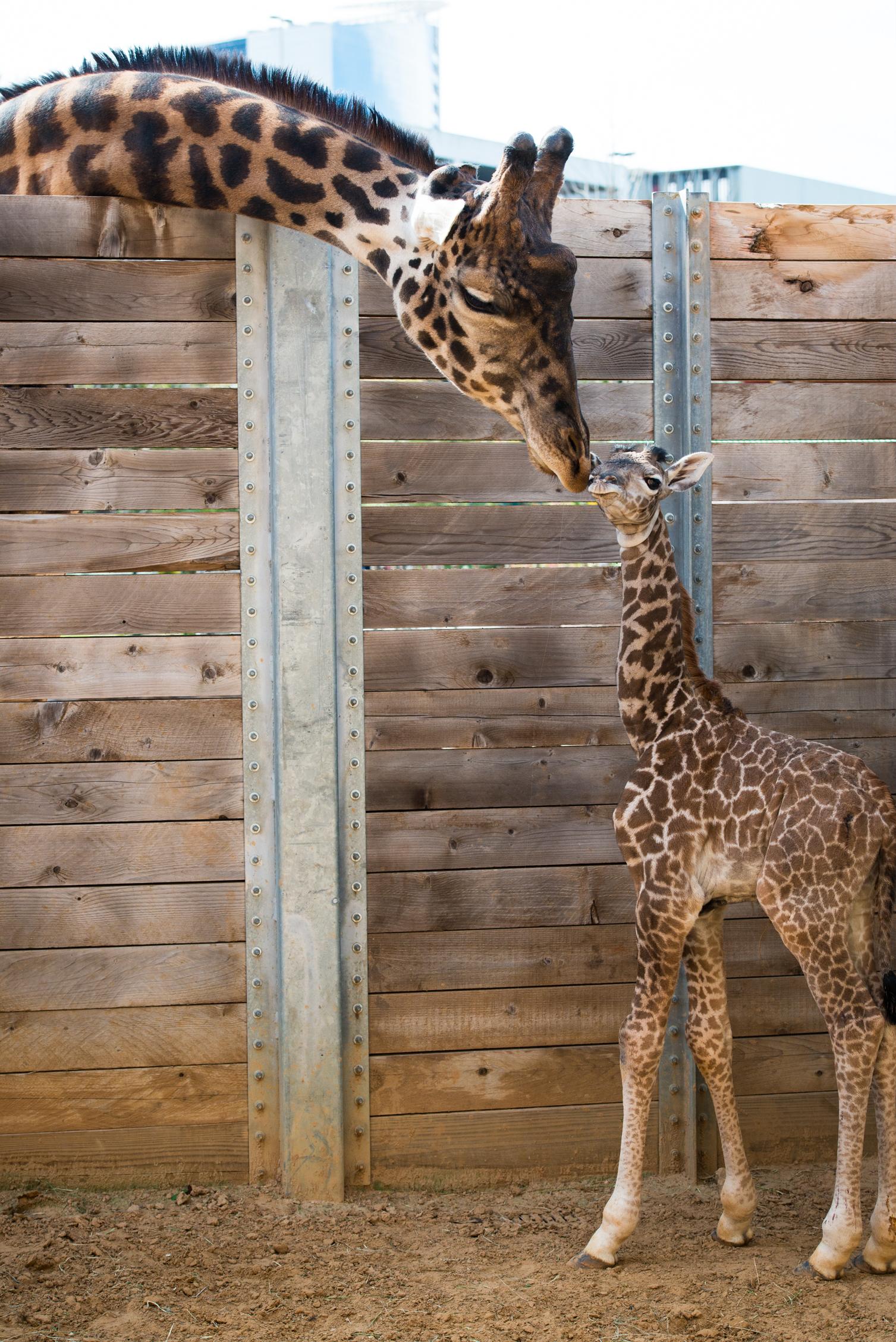 "Baby Giraffe ""Yao"" Has Life Threatening Infection"