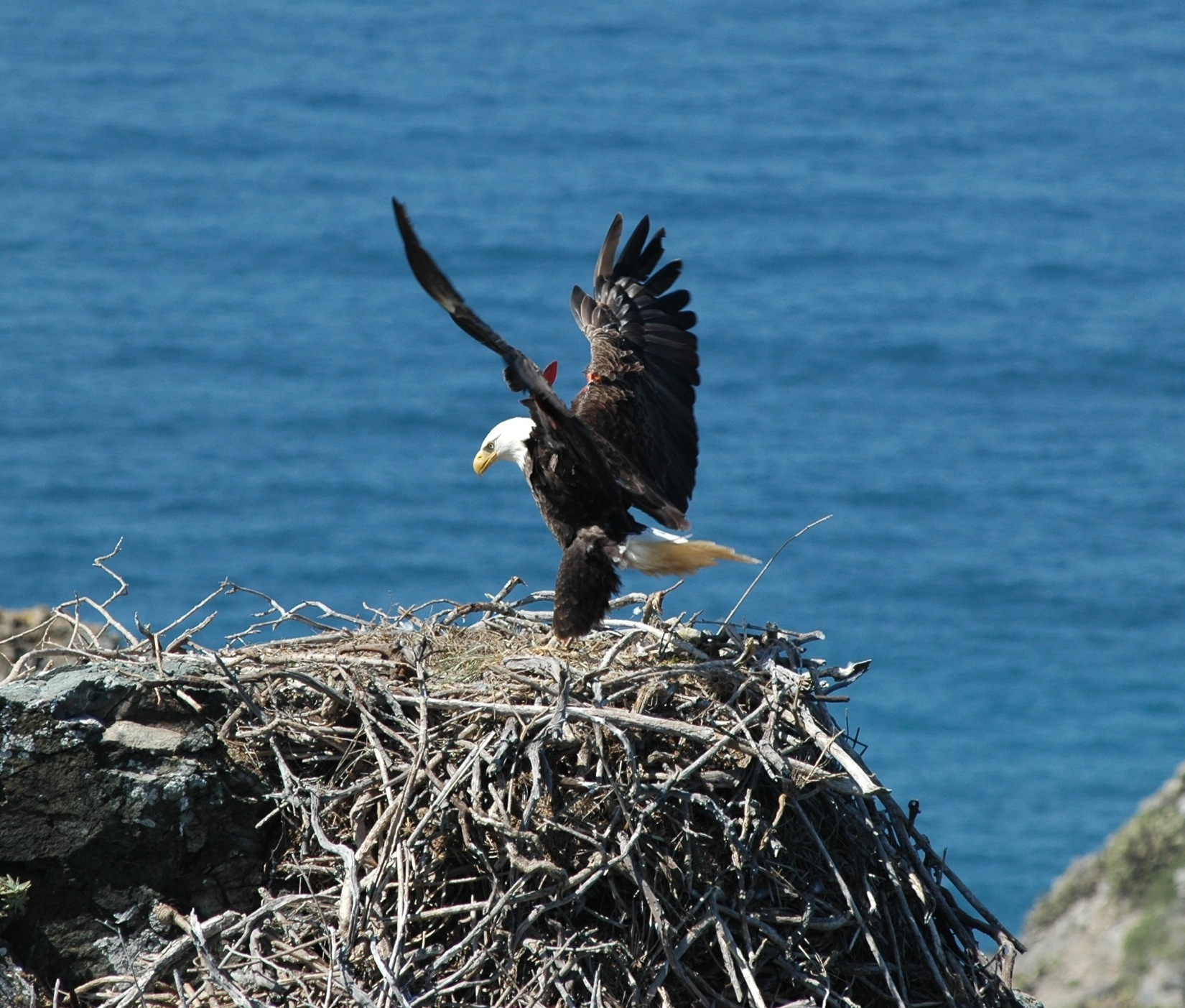 Bald Eagle Egg Pipping On Live Cam