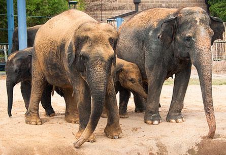Experience The Elephants At The Houston Zoo May 18