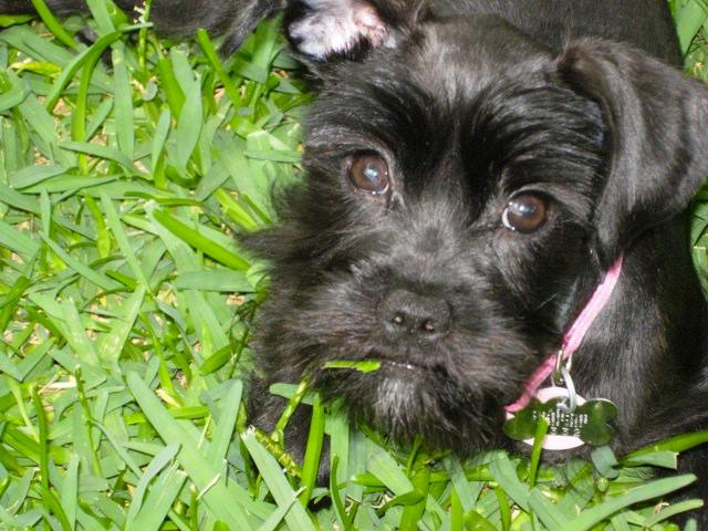 """Mini Schnauzer """"Jenny"""" Looking For A Home"""