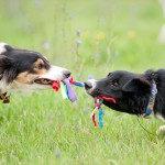 Two dogs playing with rope toy