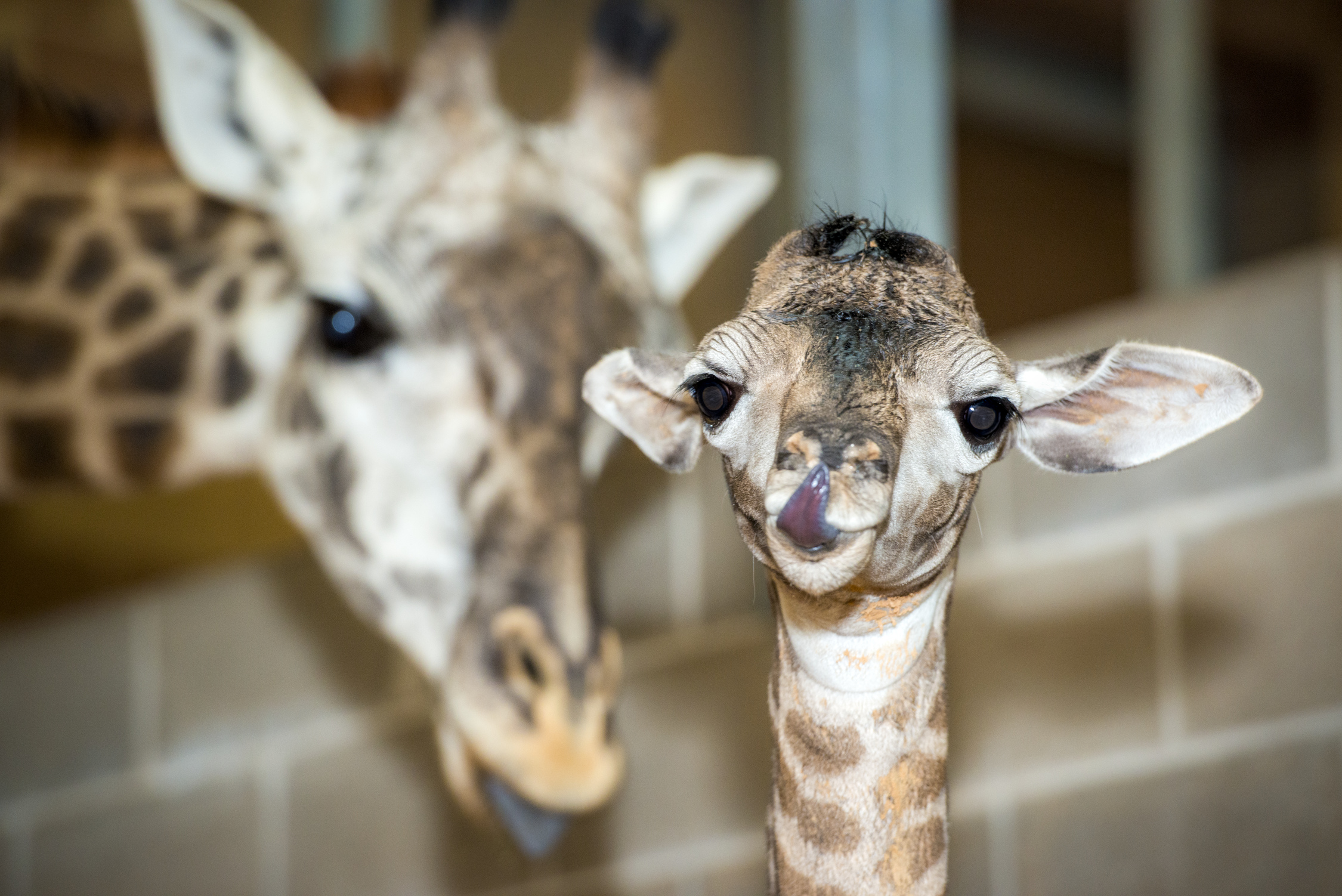World Giraffe Day!