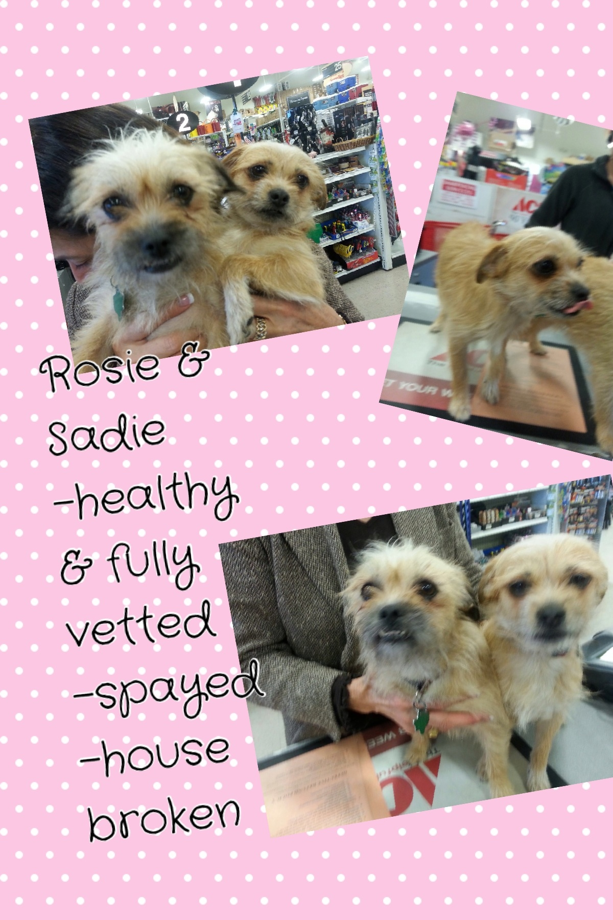 Cute Terrier Mixes Need Adopted