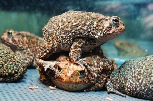 100426-Houston Toad-17