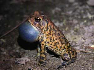 Houston Toad_Bastrop County