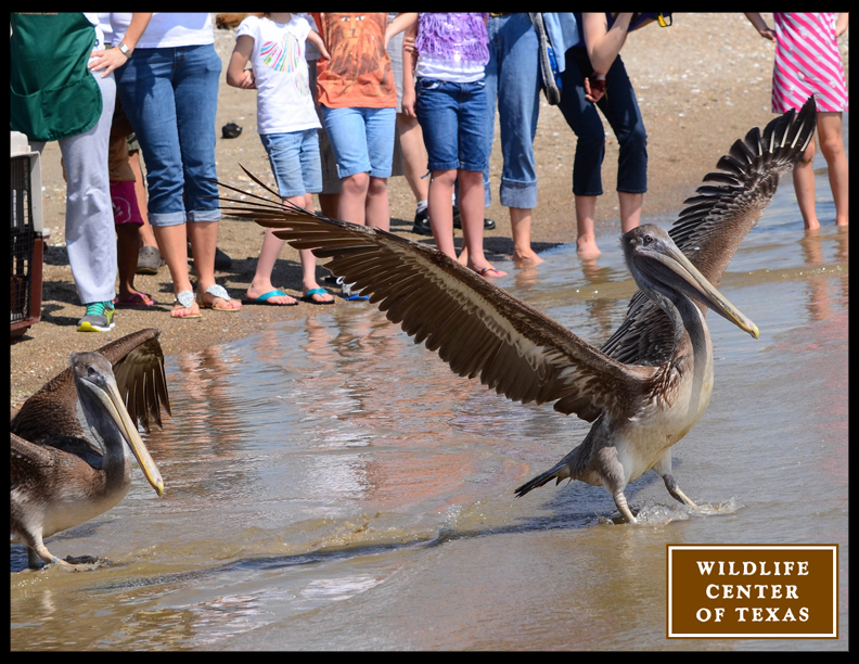 Brown Pelican Release Tomorrow