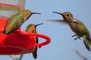 HUMMINGBIRD PHOTO 2015