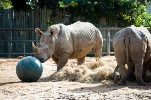 Rhino Enrichment-0001-1617