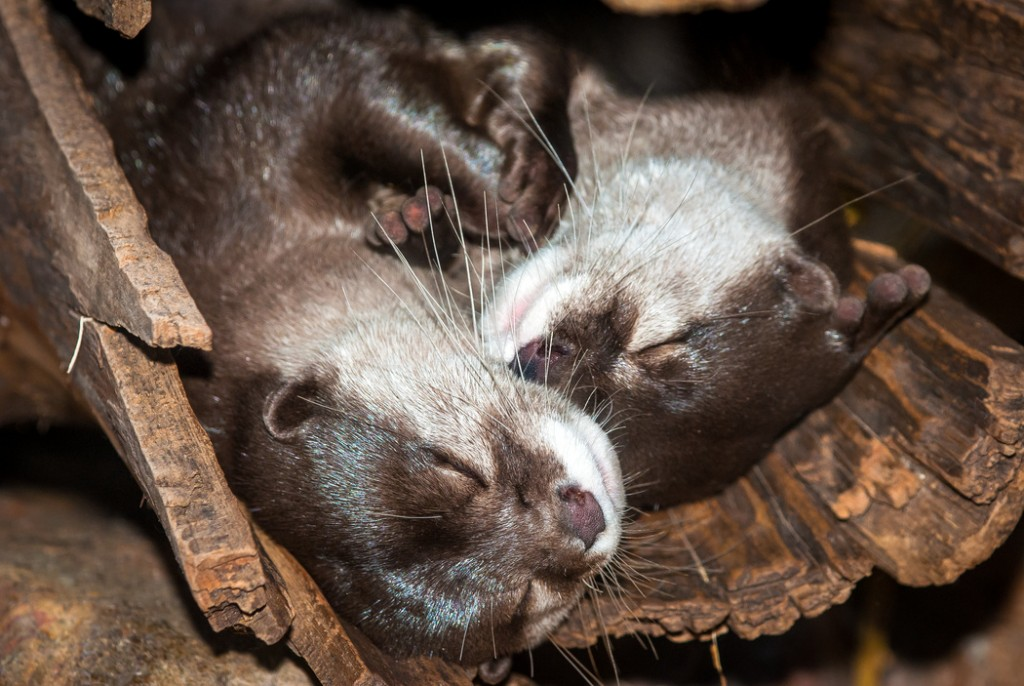 Asian Small-clawed Otter-0059-2440