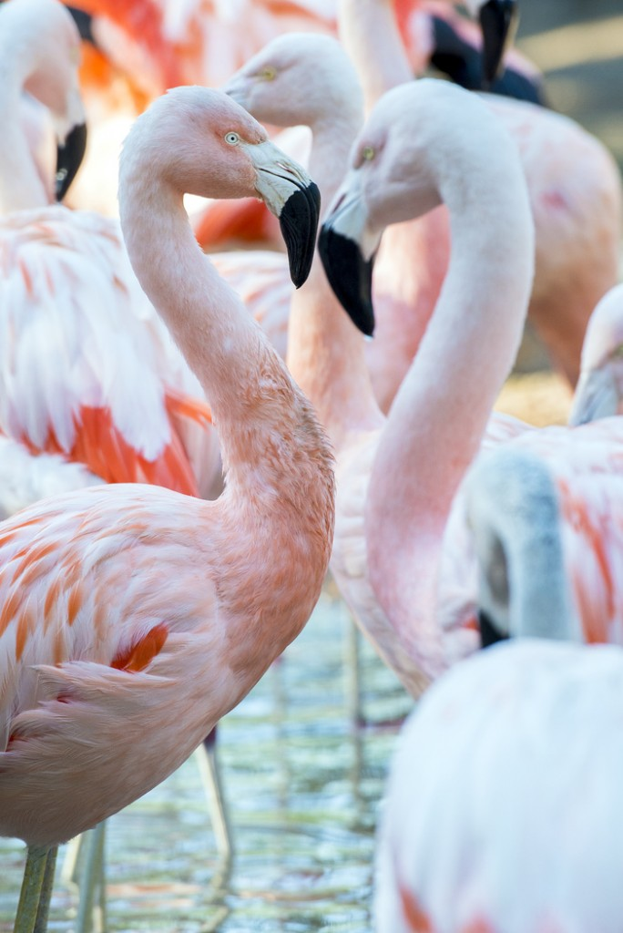 Chilean Flamingo-0121-7821-2