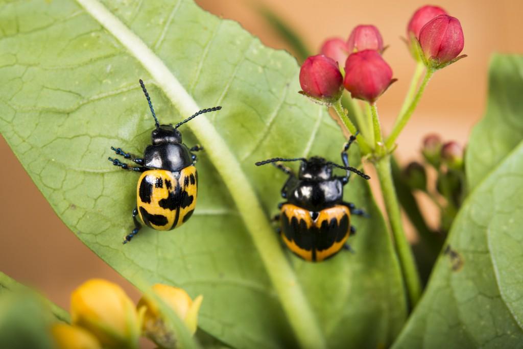 Milkweed Leaf Beetle-0001-2651