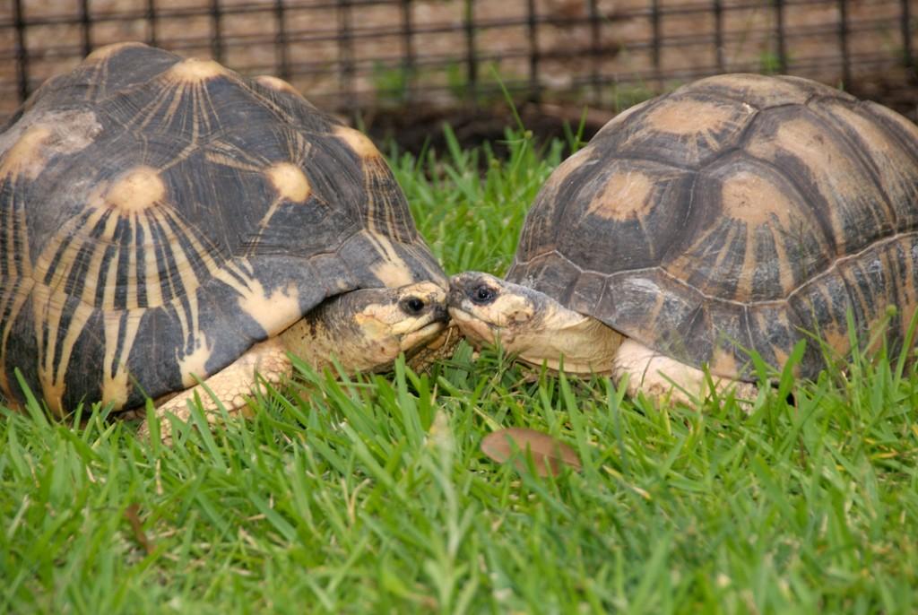 Radiated Tortoise-0017.tiff