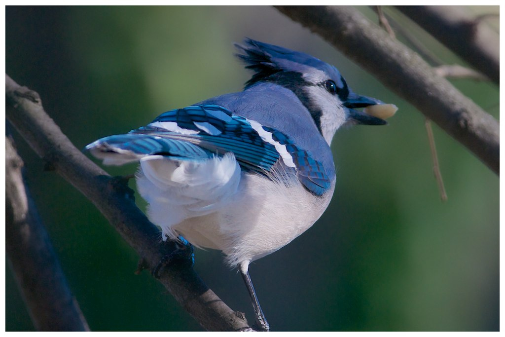 Blue Jays Are Not Blue?