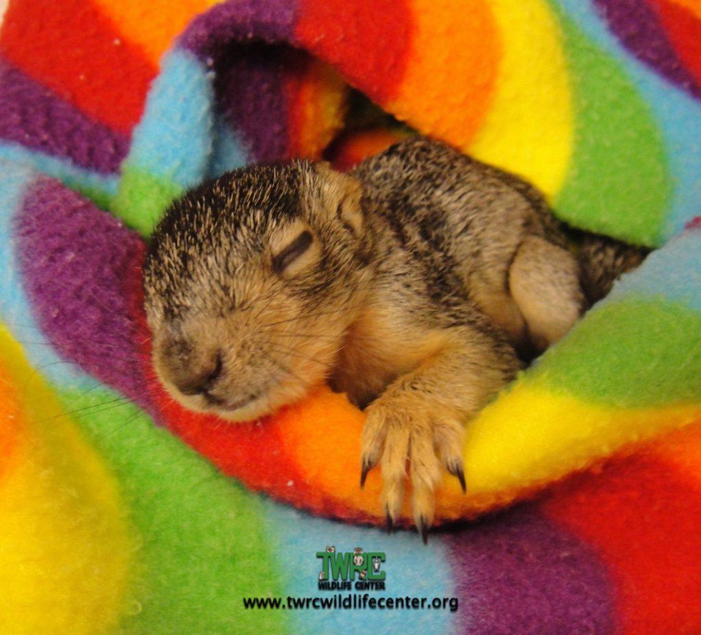FOX SQUIRREL BABY