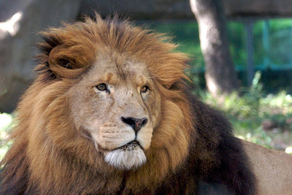 african-lion-0274