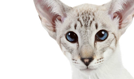 Cat Diet: Cats Are Carnivores Not Carb-ivores; They Need Meat